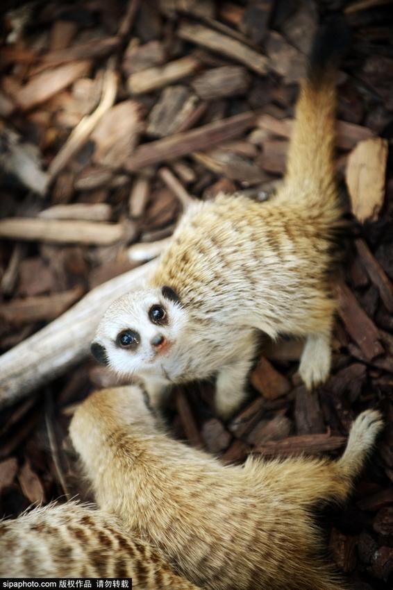 澳大利亚动物园狐猴幼崽可爱卖萌