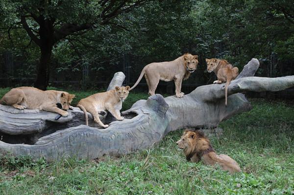 """上海野生动物园开启""""穿越猛兽区"""""""