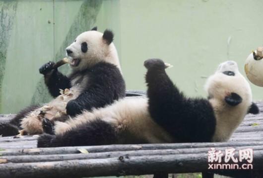 """星二,雅二入主上海动物园熊猫馆,这对熊猫兄弟在""""五一""""期间正式对外"""