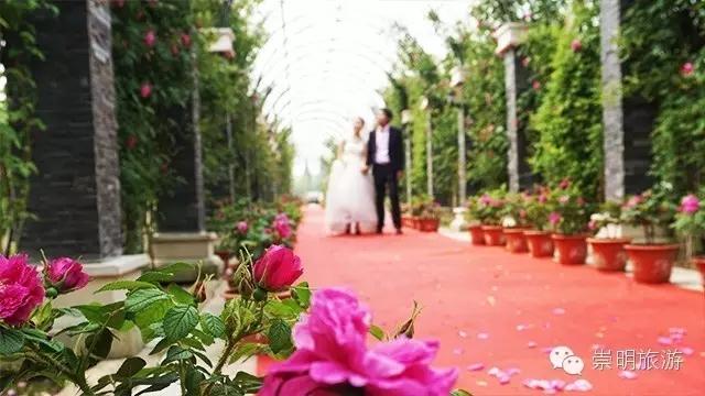 占地60亩的西来农庄玫瑰园分为玫瑰花田,玫瑰长廊,玫瑰暖棚,玫瑰广场