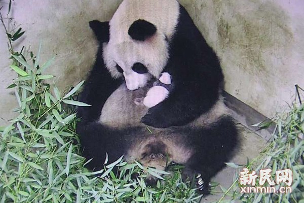 上海野生动物园龙凤胎熊猫宝宝满月