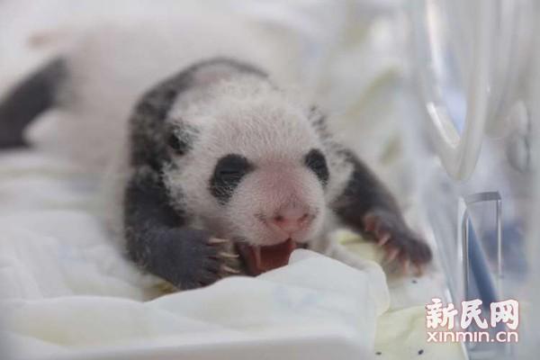 上海野生动物园龙凤胎熊猫宝宝满月-新华网