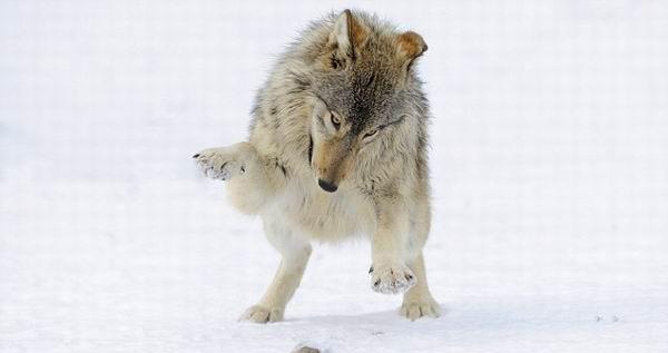 冰天雪地裏满地打滚的动物王国