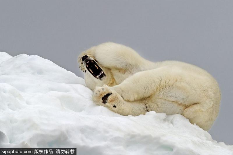 2014年1月28日讯,斯瓦巴特群岛的冰川上,一只北极熊正在松软的,厚厚的雪堆上蜷缩起身体做着美梦。在捕猎了一天之后,北极熊精疲力尽,很快就陷入了甜美的梦境。当到了该起床的时候,北极熊表现得就如同人类一般,不情不愿,伸伸懒腰,打个大哈欠,慵懒地慢慢爬起来。