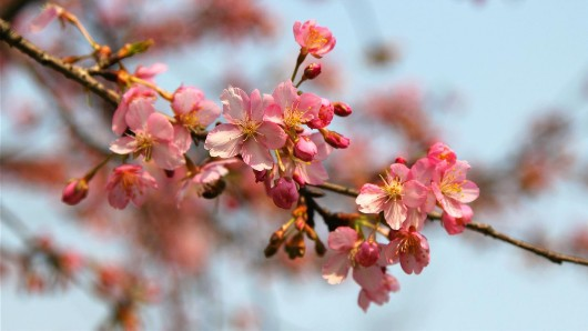 这些春天花草和吟诵她们的诗句 你都知道吗?
