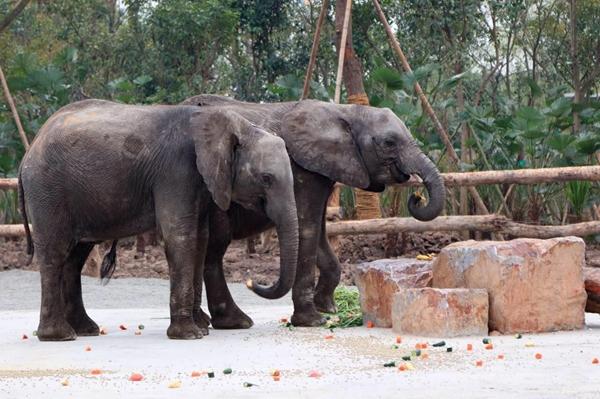 """上海野生动物园即日起重磅推出""""非洲大象节""""主题活动."""