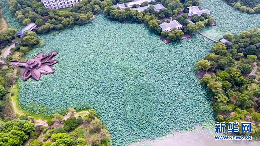 以心手相莲,为荷而来为主题的2017顾村公园消夏赏荷活动在7月3日至8月28日举行。顾村公园的荷花以自然栽种方式分布在公园多个水域,面积达300多亩,有青菱红莲、友谊牡丹莲、福建红莲、宽瓣白、剑舞等共计28个品种。一般六月中旬始花,随着温度的不断升高,每年六月底初绽,七月中下旬开始进入盛花期,荷花的开放时间达一个月以上,部分品种可持续到九月份。  公园赏荷景点多,最佳的赏花景点有三处:一处是荷花亭,倚在荷花亭的木栈道上,35000平方米荷花淀一览无遗,荷花以白色的剑舞等品种为主,清新雅
