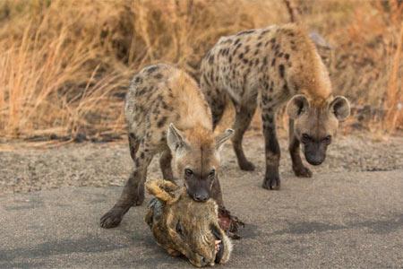 鬣狗叼母獅頭顱恐嚇獅群