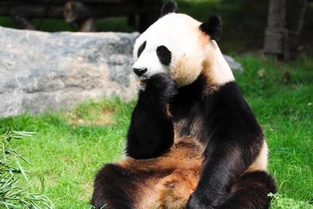 济南动物园为大熊猫庆五岁生日