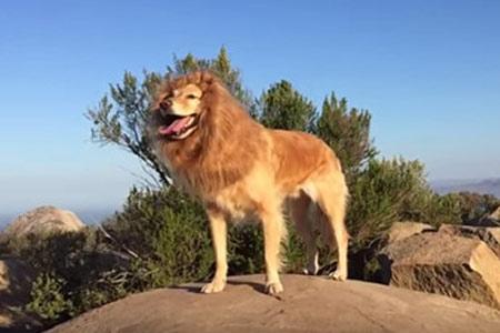 壁纸 动物 狮子 桌面 450_300