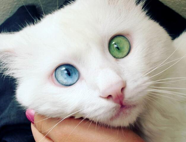 """最美网红猫双瞳异色 粉丝被其""""催眠""""魔力吸引"""