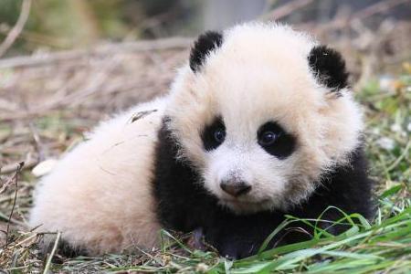直击中国大熊猫野化训练