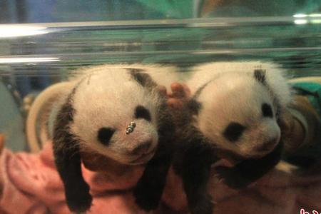 重庆动物园大熊猫双胞胎幼崽顺利度过危险期