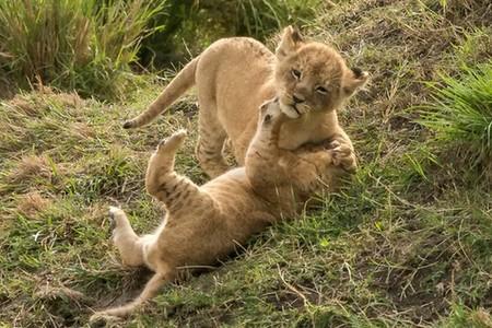 两狮崽打架 挥拳相向软萌可爱