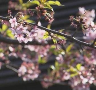 顧村公園櫻花節